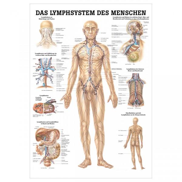 Anatomische Lehrtafel - Das Lymphsystem