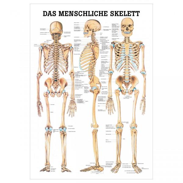 Anatomische Lehrtafel - Das menschliche Skelett