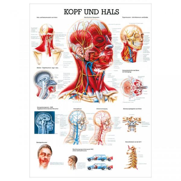 Anatomische Lehrtafel - Kopf und Hals