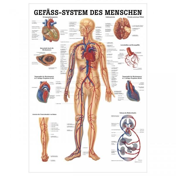 Anatomische Lehrtafel - Gefäss-System des Menschen