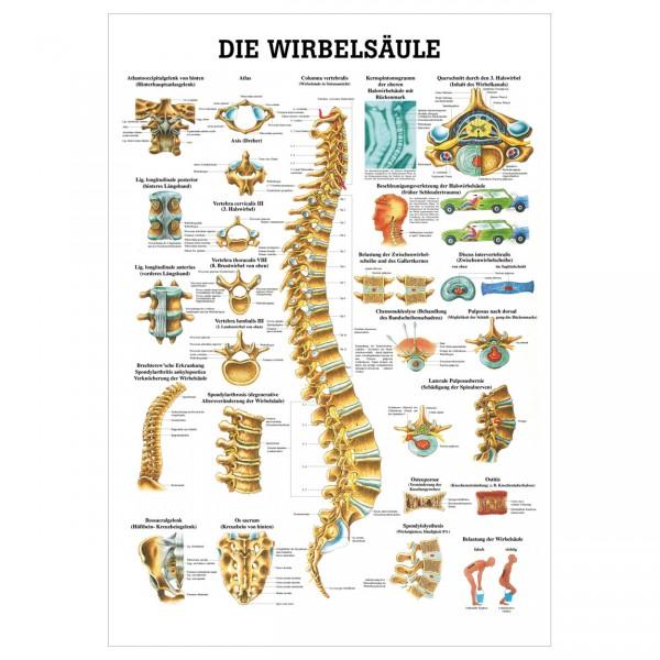 Anatomische Lehrtafel - Die Wirbelsäule