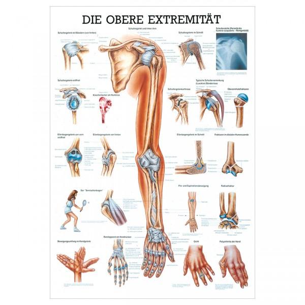 Anatomische Lehrtafel - Die obere Extremität