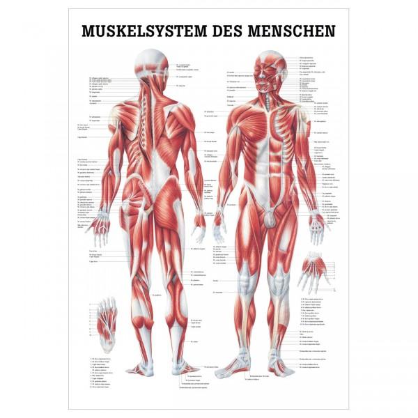 Anatomische Lehrtafel - Muskelsystem des Menschen