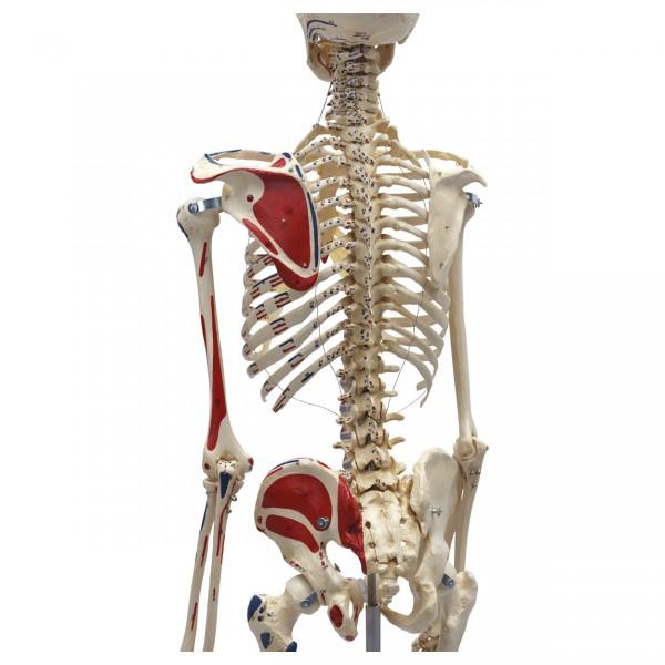 Skelett mit Muskeldarstellung