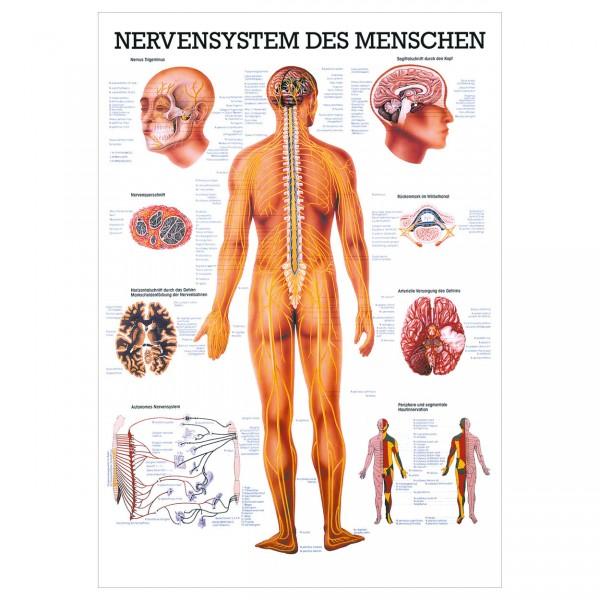 Anatomische Lehrtafel - Nervensystem des Menschen