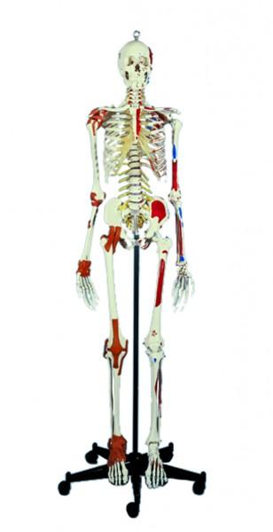 Super Skelett