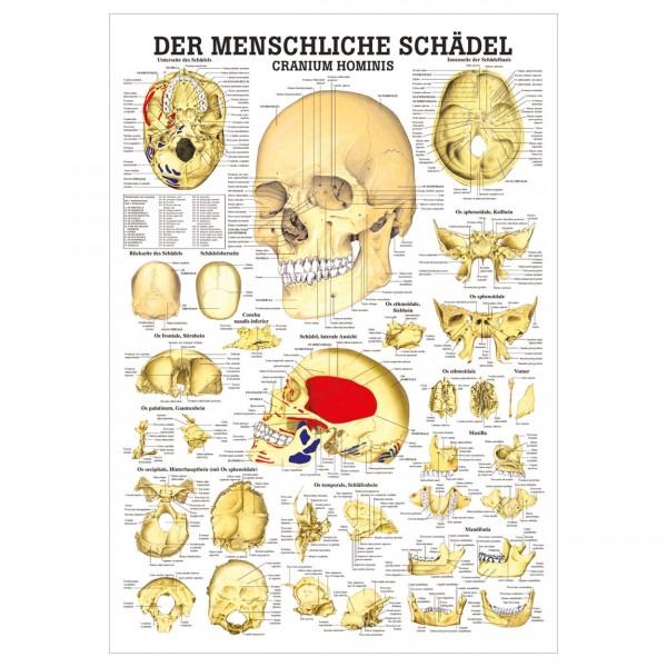 Anatomische Lehrtafel - Cranium Hominis