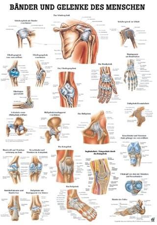 Anatomische Lehrtafel - Bänder & Gelenke des Menschen