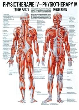 Anatomische Lehrtafel - Physiotherapie IV, Trigger-Punkte